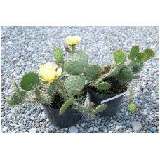 Žiemojantis kaktusas 'Opuncija' C5